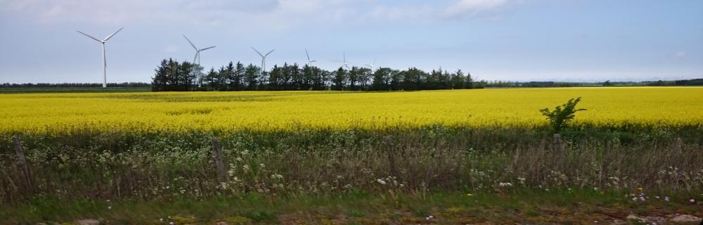 Vindmøller på gul rapsmark foto Jens Bak Rasmussen